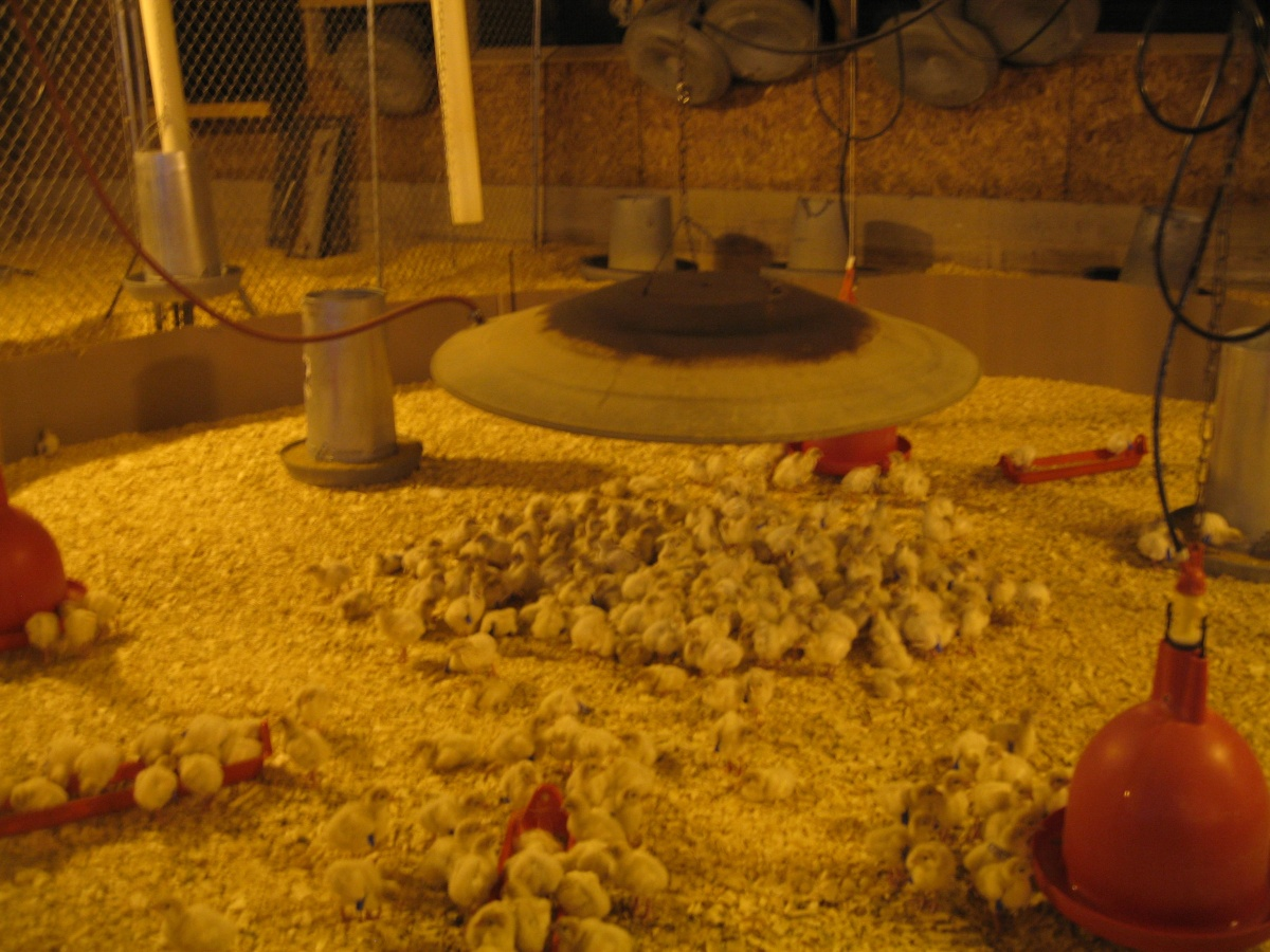 4. chicks in incubator