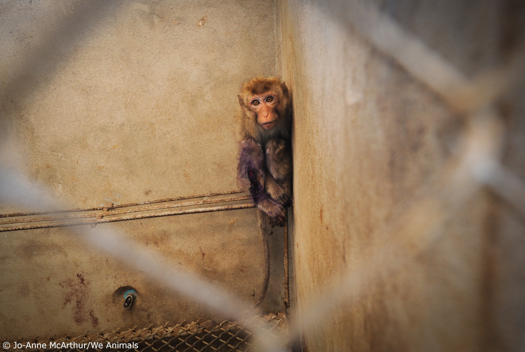 5. sad injured monkey in cage