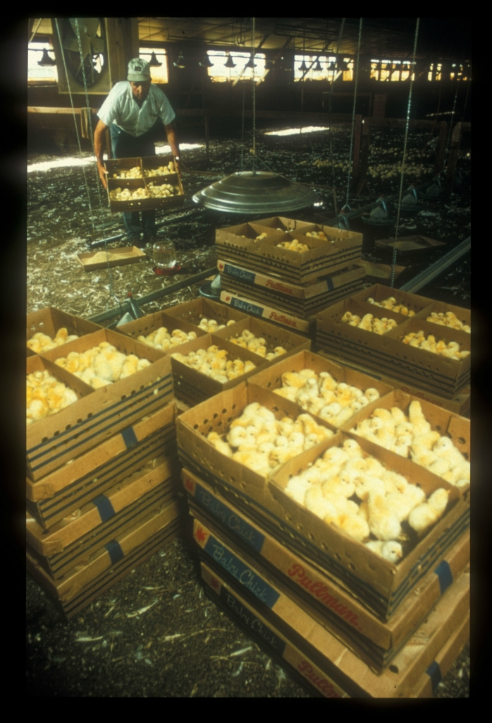 8. egg farm chicks