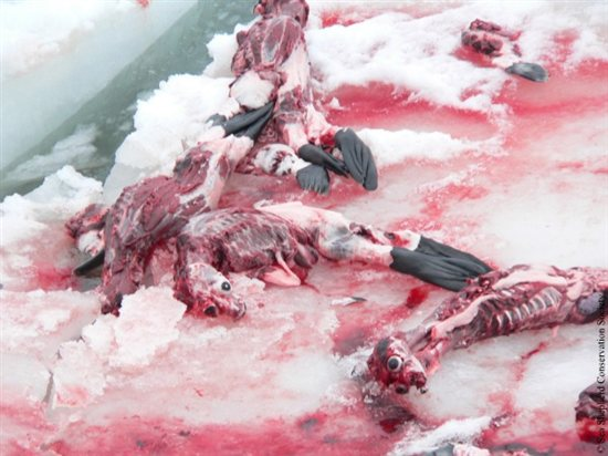 Seal Slaugher 11