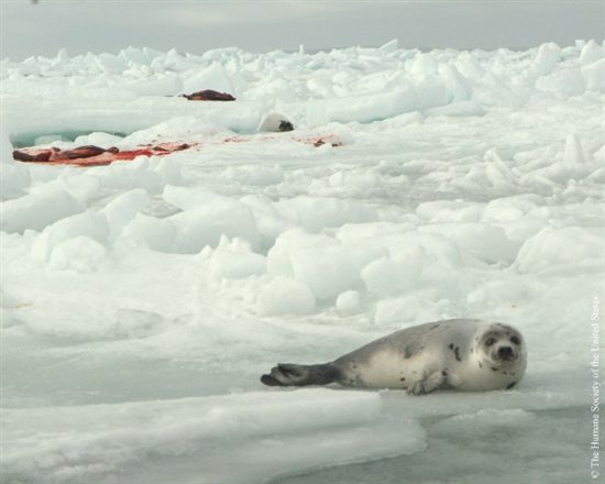 Seal Slaugher 13
