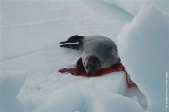 Seal Slaugher 4