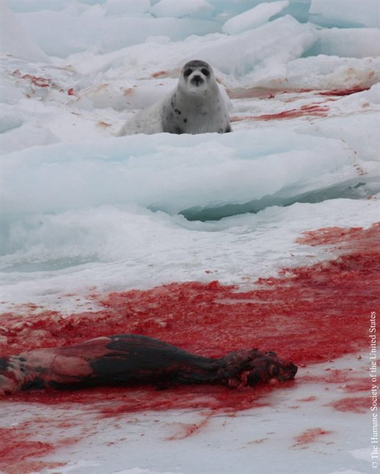 Seal Slaughter 6