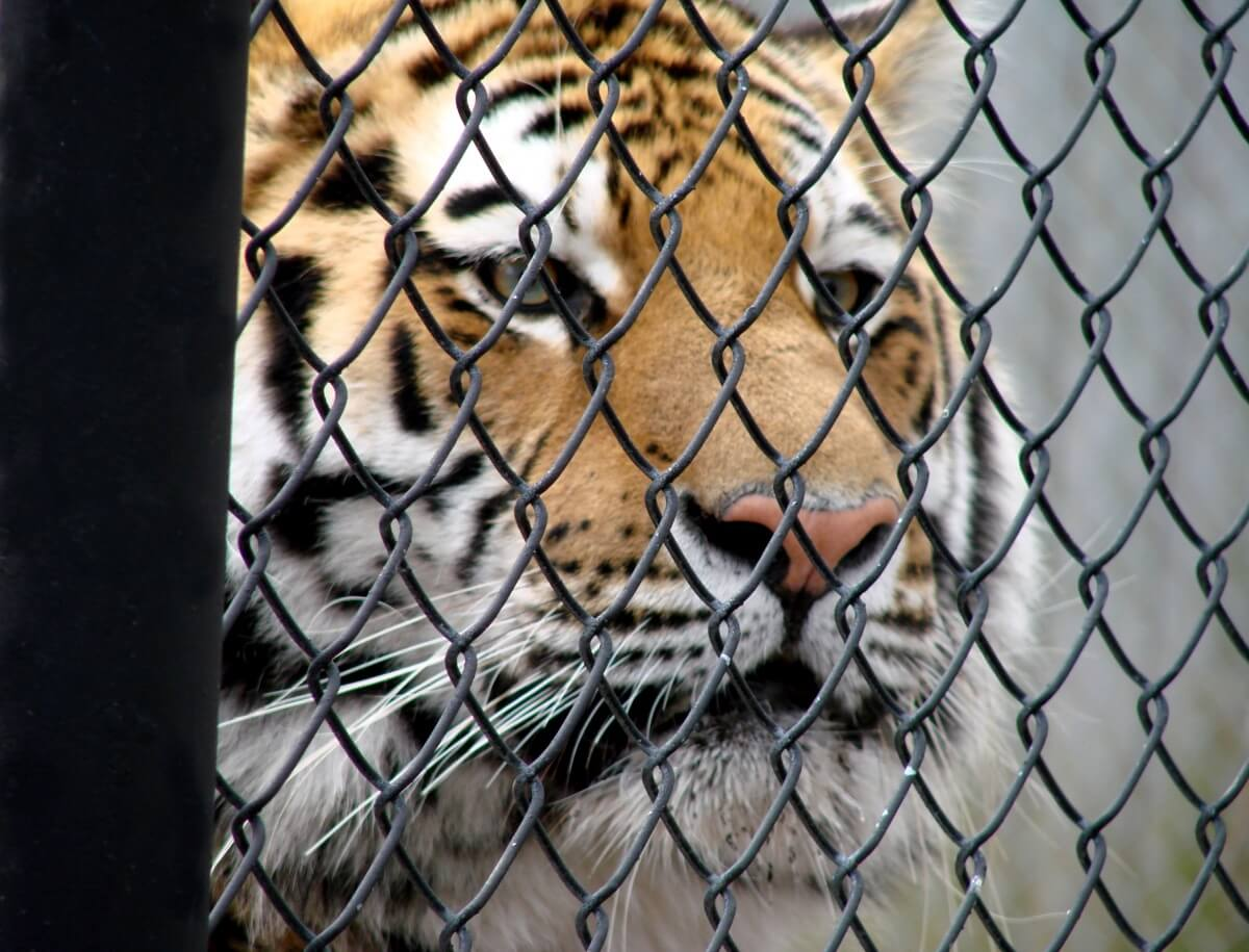tiger in cage circus