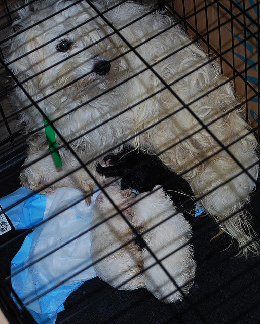 Dog in crate with two puppies from puppy mill seizure.