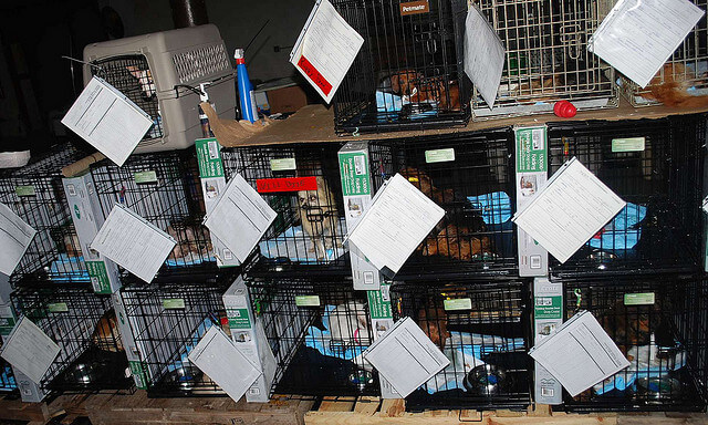 Puppies stacked in cages from puppy mill seizure.