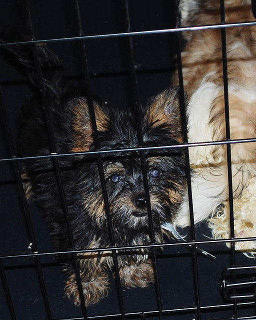 Two dogs in crate from puppy mill seizure.