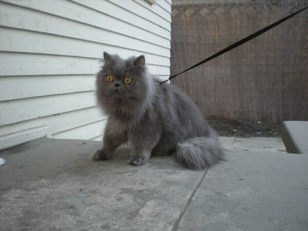 cat with leash