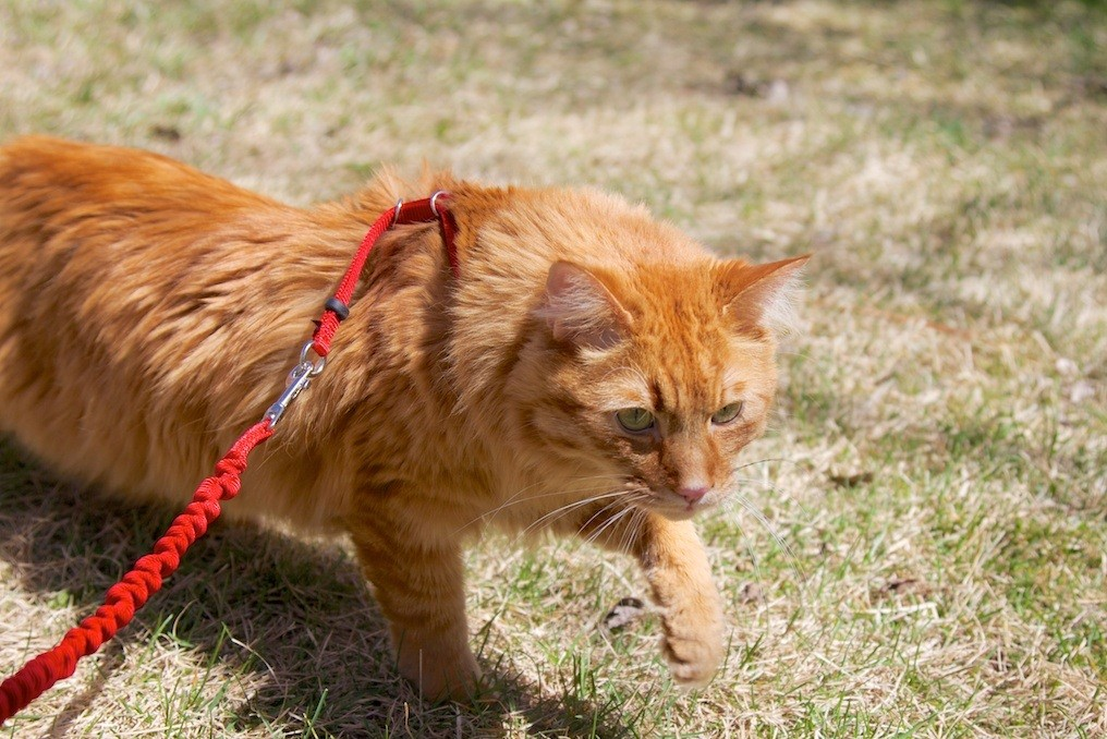 cat on leash frankenstein2