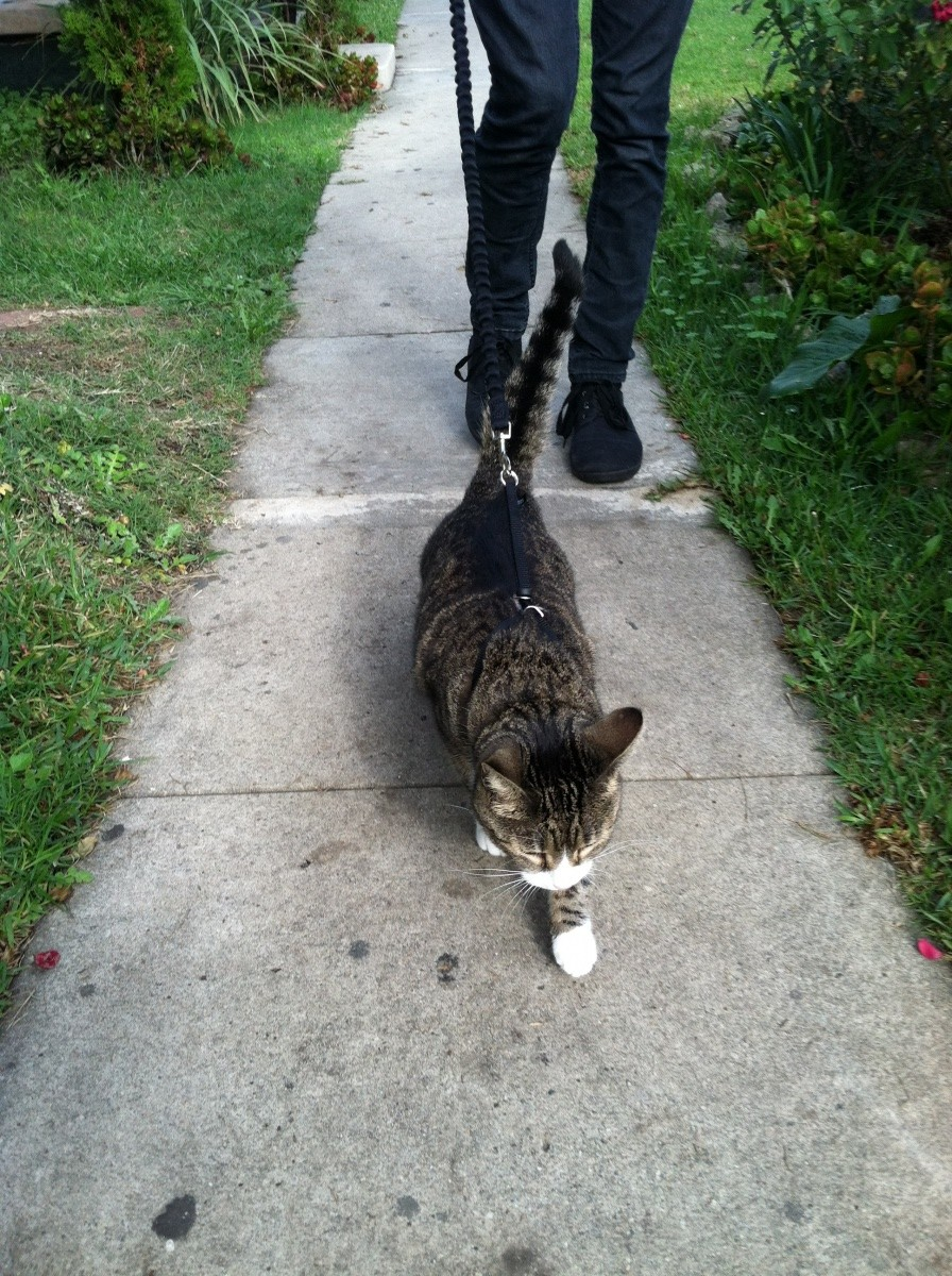 cat on leash sidewalk
