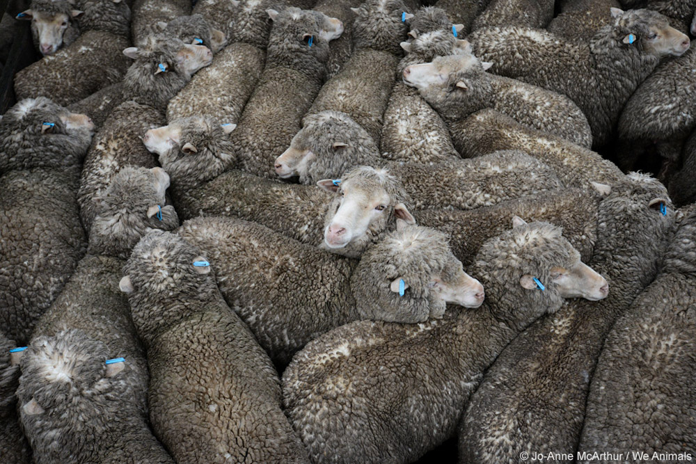 sheep used for wool