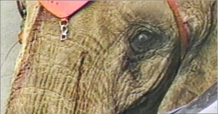 terrified, dying elephant, circus tragedy