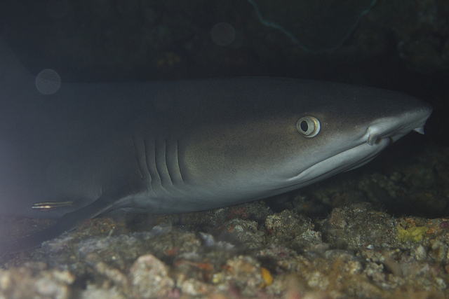 A Whitetip Shark, like the one K-Mart confined to a swimming pool for a commercial.