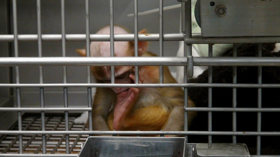 NIH Baby Monkey in Cage
