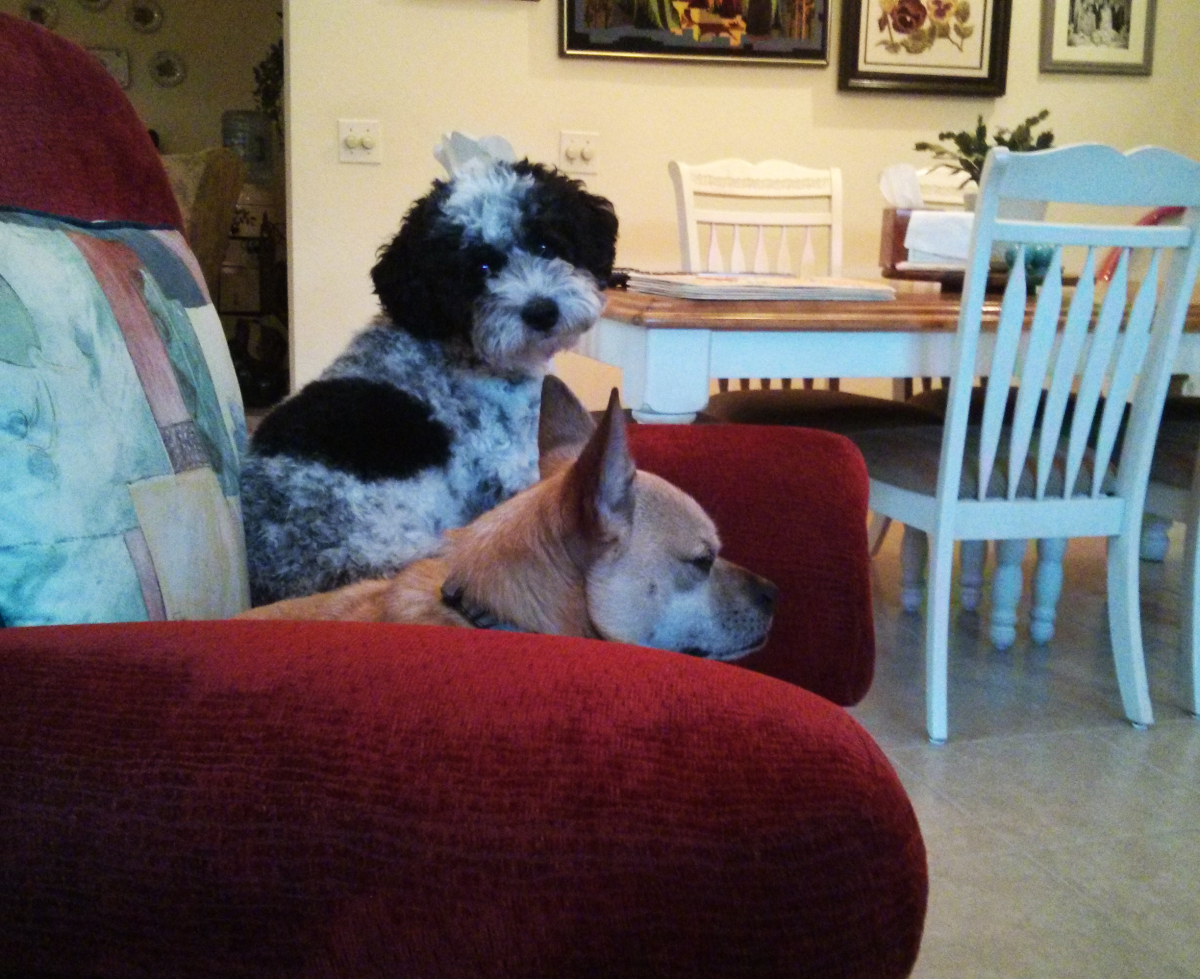 Couch Dogs