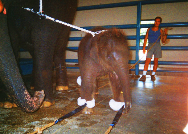 """When they are 18 to 22 months old, baby elephants are taken from their mothers' sides by throwing a rope around their necks rodeo-style and tethering them to """"anchor"""" elephants."""