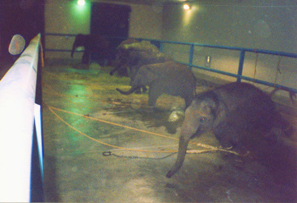 Baby elephants are forced to stand on a concrete floor for about 23 hours a day for up to six months, unable to lie down or even turn around.