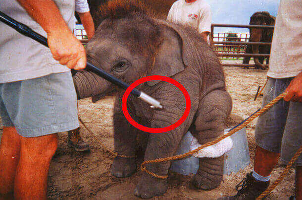 Baby elephant with bullhook.