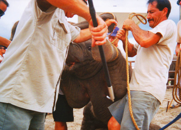 Baby elephant training is not monitored by any agency of any kind.