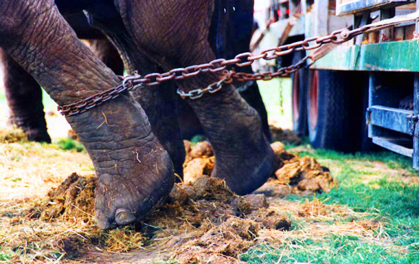The only life these elephants will know will be a life of punishment, pain, and suffering in boxcars, circus tents, and parking lots.