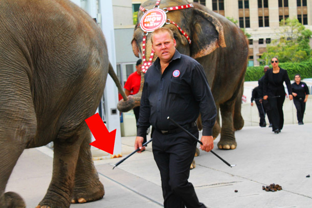 Elephant with circus trainer