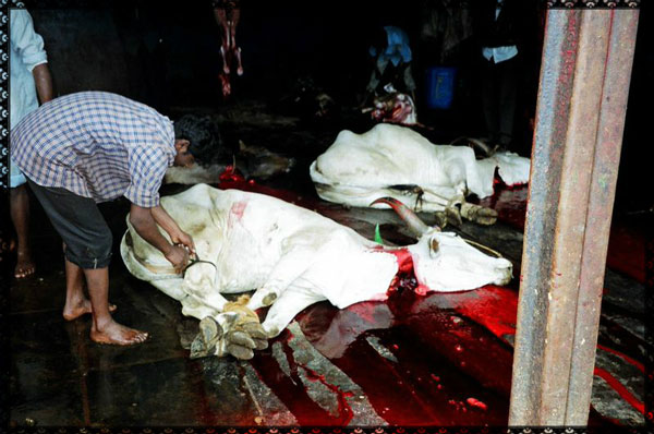 Leather-Cow-Slaughter