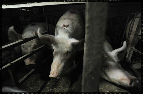 Pigs suffering in a factory farm