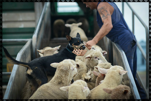 Millions of live sheep are shipped from Australia to Africa and the Middle East every year.