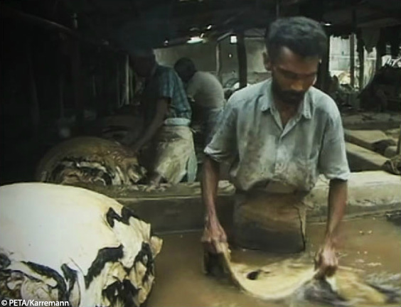 tannery cows india leather