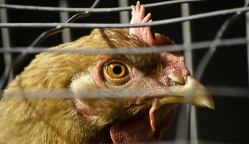 Are Eggs Really Chicken Periods? | peta2