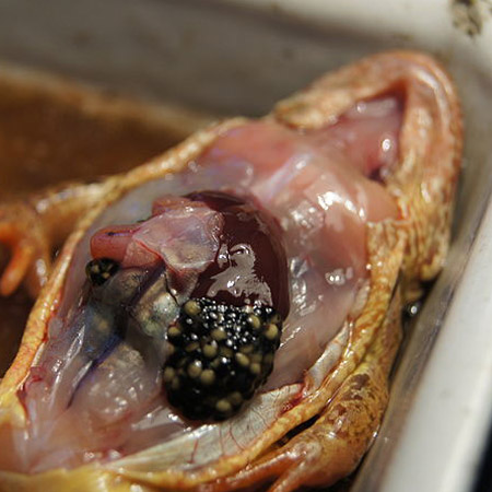 p2 dissection frog
