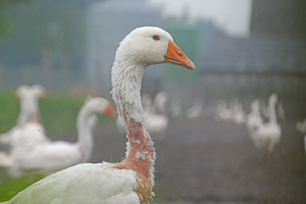 Ducks and geese used for down