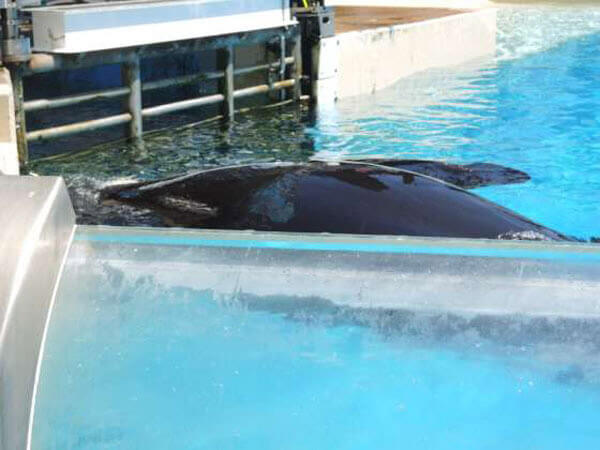 why do orcas fins curl in captivity