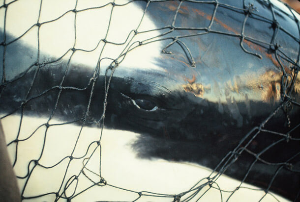 Orca's like Lolita are captured from the wild for marine parks