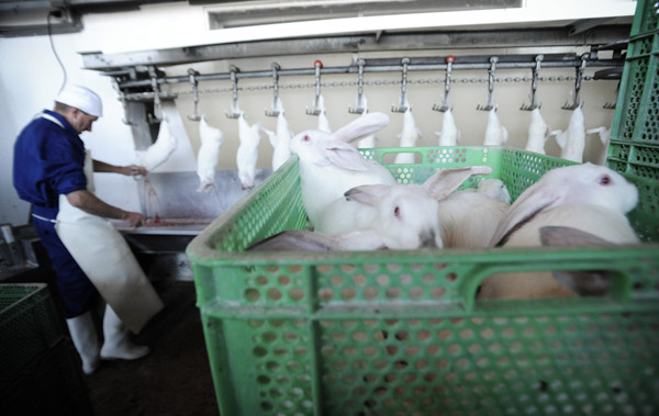 Rabbits Being Slaughtered