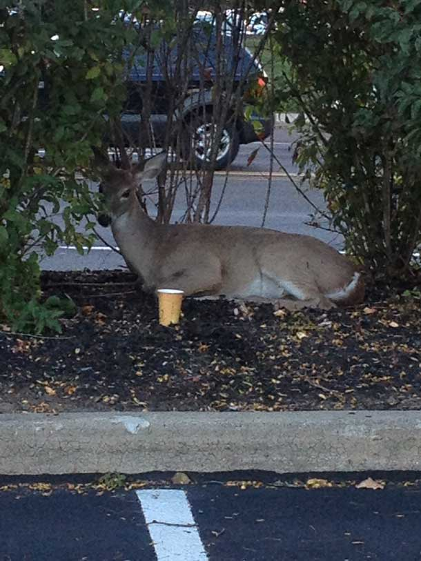 This deer was hit by a car and badly injured. If you see any injured animals on or near the road, be sure to call animal control and wait near the animal until help arrives.