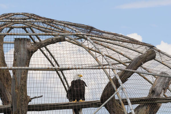 Eagle In Zoo