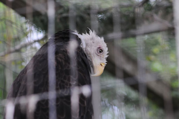 Sick-stressed-eagle-in-zoo