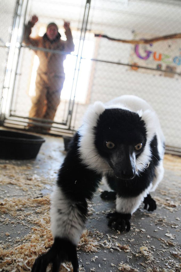 lemur-watched-by-man-zoo