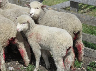 51 Million Shoppers Say 'Ugh!' to Ugg's Cruelty to Sheep