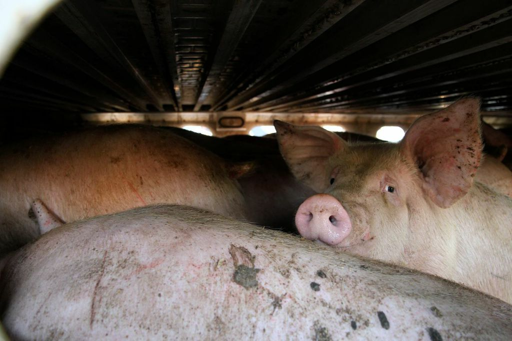pigs in transport truck