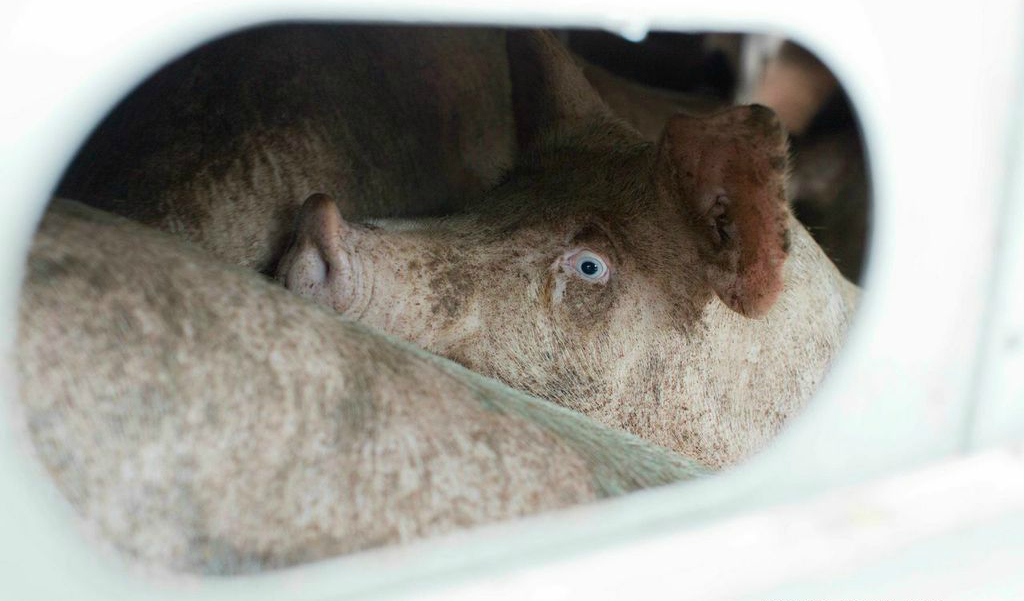 scared pig in transport truck