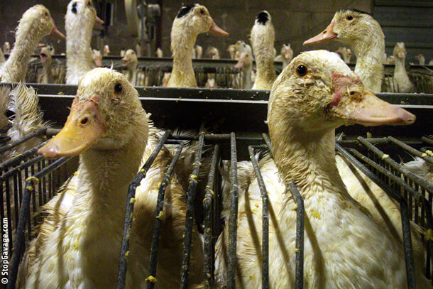 Foie-Gras-Ducks-In-Cage