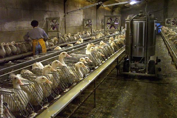Foie-Gras-Ducks-in-shed