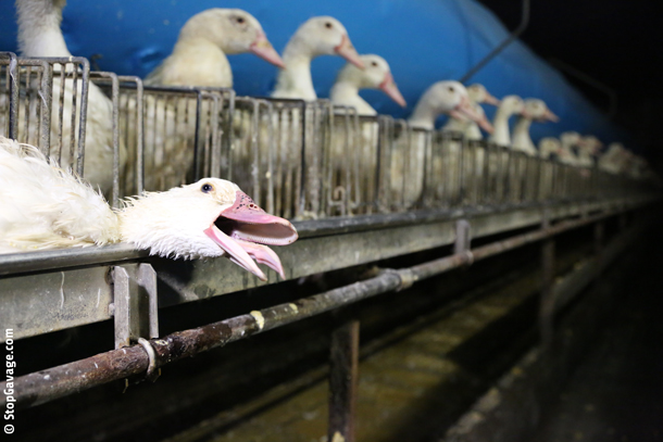 Foie-Gras-Suffering-Bird