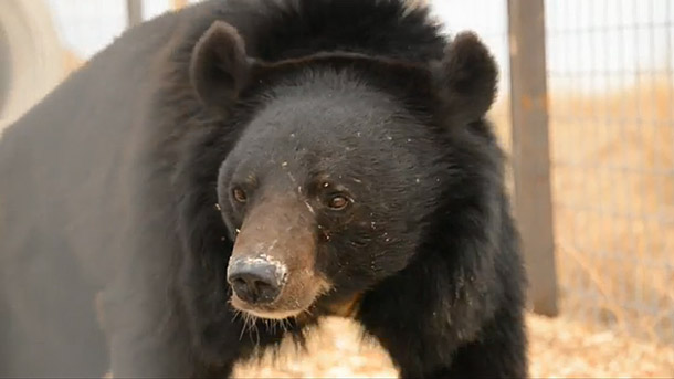 Sevierville TN Bear Close-Up at Sanctuary