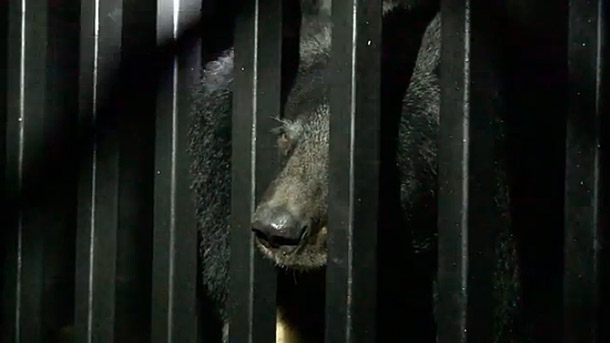 Sevierville TN Bears in Enclosure
