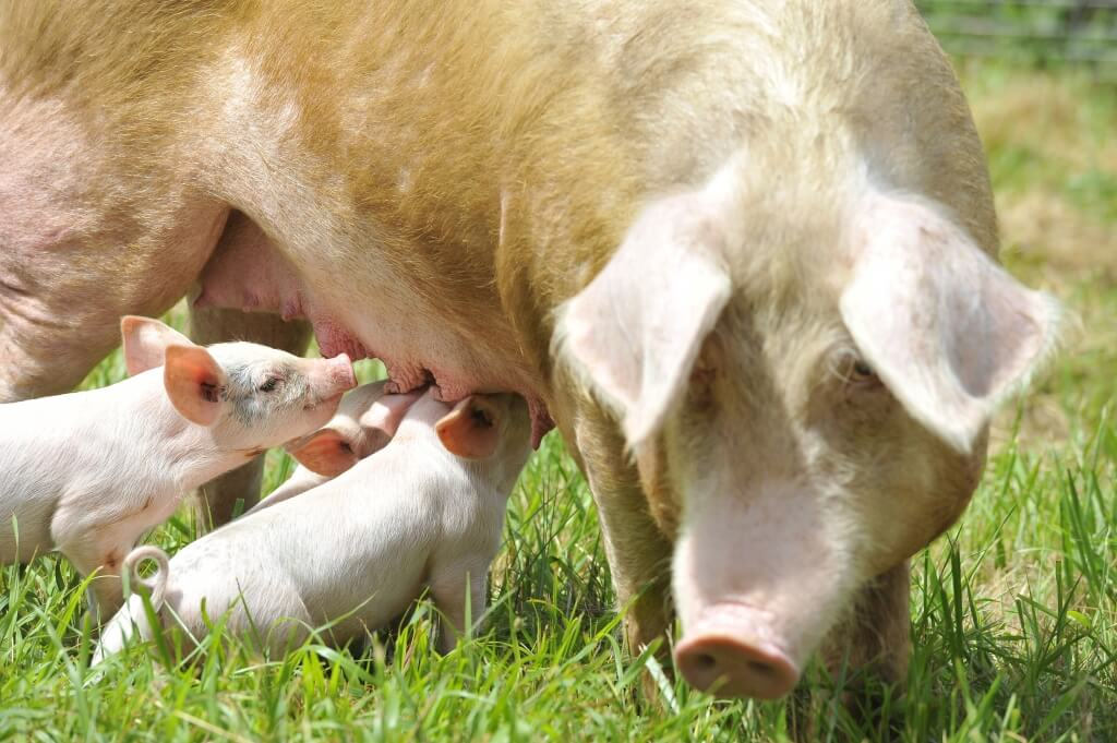 Pig-and-Pigletts