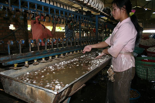 Silkworms being placed in scalding hot water.