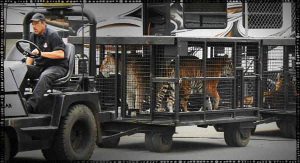 Big-Cats-in-Tiny-Cages